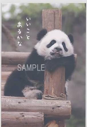 パンダの写真のポストカード